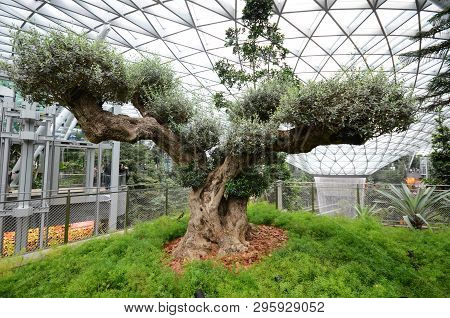 Singapore, 11 Apr, 2019: Old Olive Tree In The Jewal Changi Airport In Singapore. Jewel Changi Airpo