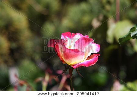 This Is An Image Of An Early Spring Rose Taken In Carmel, California In Full Afternoon Sunshine.