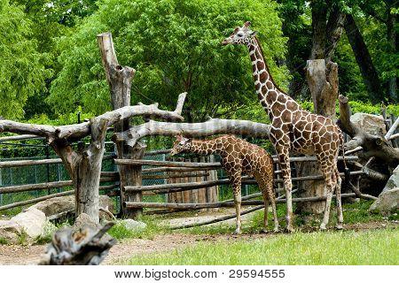Giraffes Together