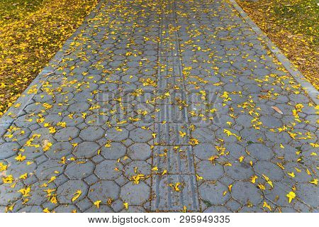 Yellow Golden Tabebuia Flower On The Walkway