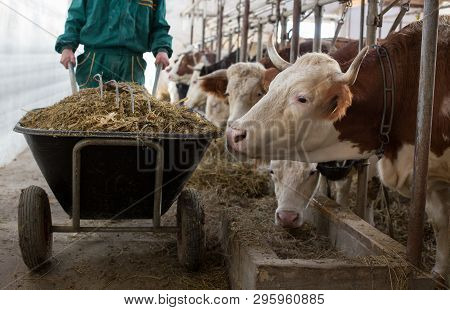 Farmer Pushing Wheelbarrow With Silage To Feed Cows In Stable