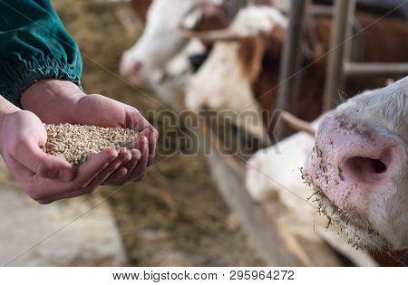 Farmer Holding Dry Food In Granules In Hands And Giving Them To Cows In Stable