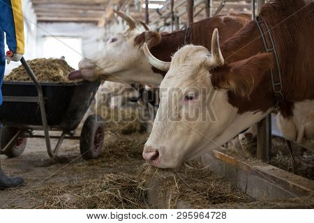 Farmer With Feed For Cows