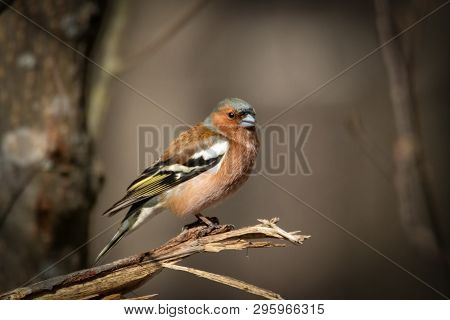 A Common Chaffinch Bird Close Up On Branch.