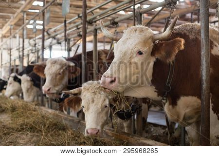 Simmental Cows Lying In Stable. Livestock Breeding Concept