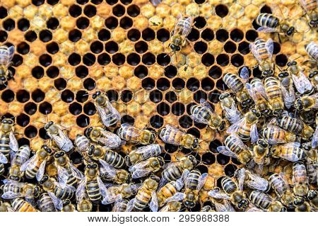 Honey Bee Beehive Wax Frame With Hundrets Of Bees Working