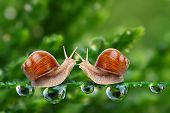 Love-making snails couple on a dewy grass. Love metaphor. poster