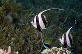 schooling bannerfish (heniochus diphreutes) taken at sofitel house reef poster