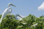 Two Great Egrets nest in the top of a flowering tree with blue skies in the background. This is a great nature background. poster