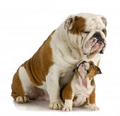 big and small dog - english bulldog father sitting with 8 week old puppy on white background poster
