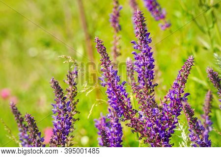 Purple Flowers Of Wild Meadow Sage In The Wild. Wild Salvia On A Summer Day. Salvia Pratensis