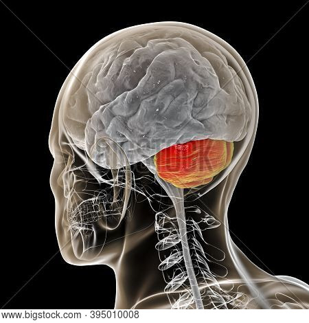 Human Brain With Highlighted Cerebellum Inside The Body, 3d Illustration. It Plays An Important Role