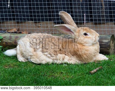 A Flemish Giant Rabbit Lays Down And Relaxs On He Grass.