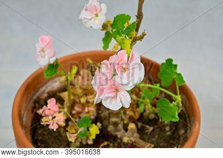 Small Hibernating Pink Germanium In Clay Pot