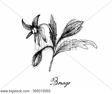 Illustration Hand Drawn Sketch Of Borage Seeds And Blossoms On A Branch. The Highest Amounts Of Y-li