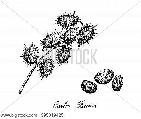 Illustration Hand Drawn Sketch Of Castor Beans Or Ricinus Communis. The Highest Amounts Of Triglycer