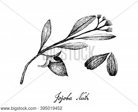 Illustration Of Hand Drawn Sketch Simmondsia Chinensis Or Jojoba Nuts And Seed, Used To Treat Acne,