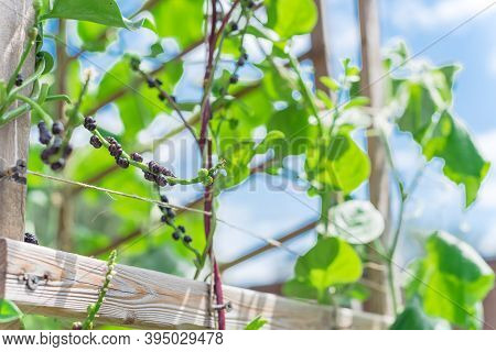 Malabar Spinach Seeds And Flowers Vine On Trellis Against Blue Sky At Homegrown Garden In Texas, Usa