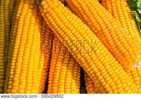 Ripe Corn Ears Peeled From Husks On A Small Pile Outdoors, Fragment Top View Close-up
