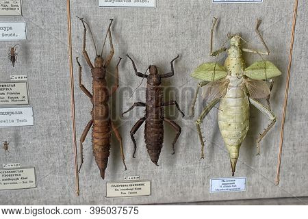 Russia, St. Petersburg 27.03.2020 Insects At The Exhibition Of The Zoological Museum