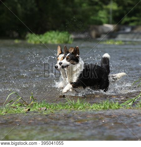 Two Dogs In Water, Welsh Corgi Cardigan