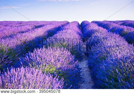 Lavender Fields Near Valensole, Provence, France. Selective Focus. Beautiful Summer Nature Backgroun