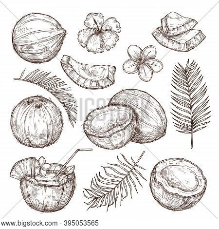 Coconut Sketch. Drawing Nature, Hand Drawn Half Exotic Nuts. Isolated Tasty Raw Coco, Tropical Palm
