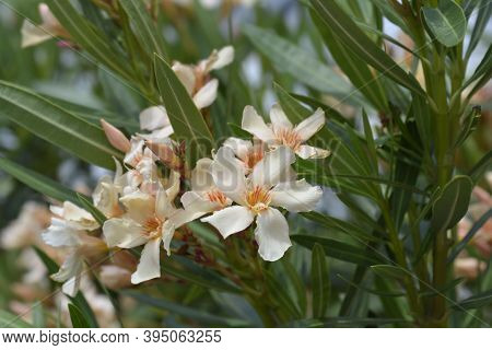 Common Oleander Pale Peach Colored Flowers - Latin Name - Nerium Oleander