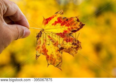 Hand holding outdoor autumn colored leaf with golden foliage colors in back
