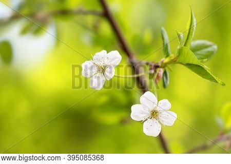 Blossoming White Petals Yellow Stamens Fruit Tree Branch. Springtime Garden Background. Shallow Dept