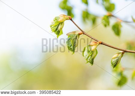Birch Tree Branch Spring. The Process Of Turning A Birch Buds Into A Leaves. Beautiful Soft Tender S