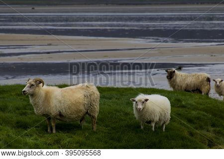 Sheep On The Beach