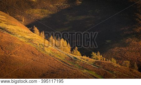 Some Larch Trees Sunlit By The Morning Sun And Standing Out Agaisnt The Dark Fell In The Background.