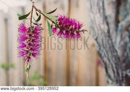 Native Australian Pink Bottlebrush Callistemon Plant Outdoor In Sunny Backyard Shot At Shallow Depth