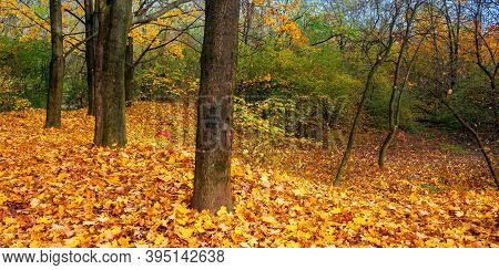 Sunny Autumn Landscape In The Woods. Branches In Colorful Foliage. Ground Covered With Fallen Leaves