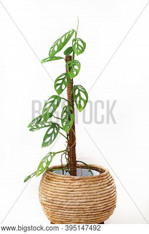 Philodendron Swiss Cheese Is A Plant Originating From The American Tropical Forests Whose Distributi