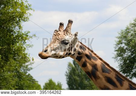 Giraffe Head And Neck Under Blue Sky.giraffa Is An African Artiodactyl Mammal, The Tallest Living Te
