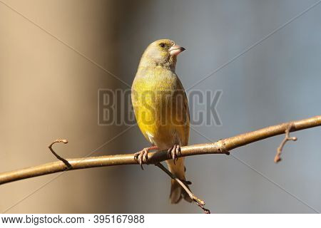 Greenfinch Nature bird tree branch twig pet Nature background habitat pet sunrise morning Nature pet background color pet sunset Nature pet birds Nature background Nature background pet autumn Nature birdie Nature background songbird Nature background.