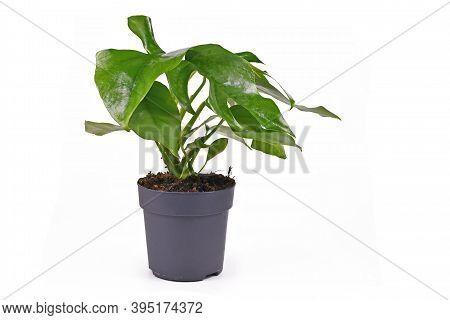 Small Tropicalhouseplant With Correct Botanic Name  'rhaphidophora Tetrasperma'  With Leaves With Ho