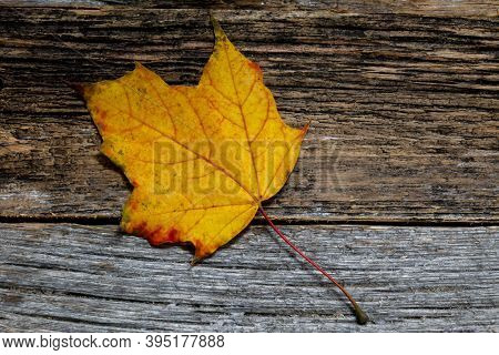 Multicolored autumn leaf on weathered background close up