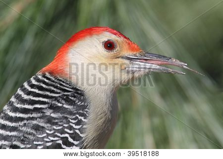 Male Red-bellied Woodpecker (Melanerpes carolinus) with green pine branches poster