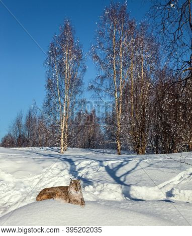 Gorgeous lynx resting in deep snow. Lapland on a sunny winter day. Short winter day in the Arctic. The sun is low on the horizon. The edge of a snow-covered  forest