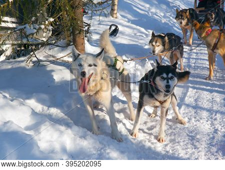 Exotic trip to the Arctic. Husky sled carrying a sleigh with tourists. The sun is low on the horizon. Travel to Santa Claus. Short winter day in the Lapland
