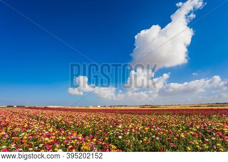 Picturesque fields of buttercups in the Israeli kibbutz. Annual large multi-colored flowers. Wonderful warm spring weather. The concept of botanical, environmental and photo tourism