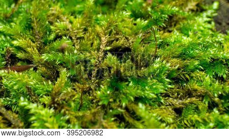 Moss, Macro Shot, Forest Moss Texture From Extreme Close Range, Background