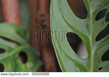Shadow Of Tropical Monstera \'s Leaves, Texture Of Green Leaves, Monstera Leaf In Flowerpot At The T