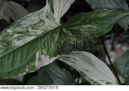 Leaves In The Garden, Fresh Green Leaves Background In The Garden Sunlight. Texture Of Green Leaf In
