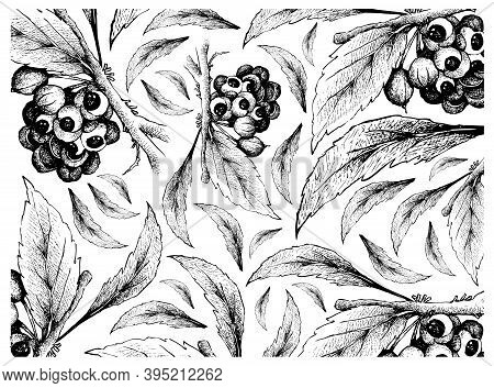 Vegetable, Illustration Wall-paper Of Hand Drawn Sketch Red Guarana Or Paullinia Cupana Fruits On Wh