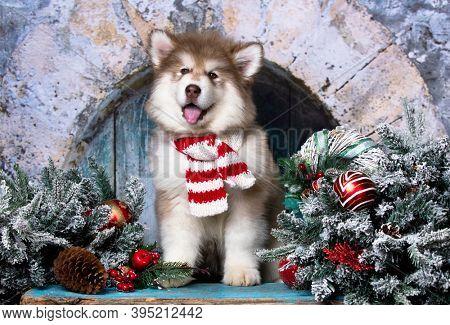 alaskan malamute the background of New Year's decor; Christmas dog