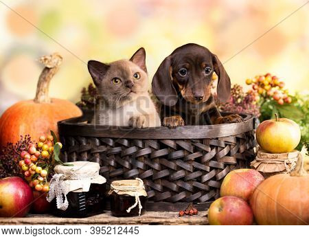 Dogs dachshunds puppy and kitten, autumn decor from pumpkins
